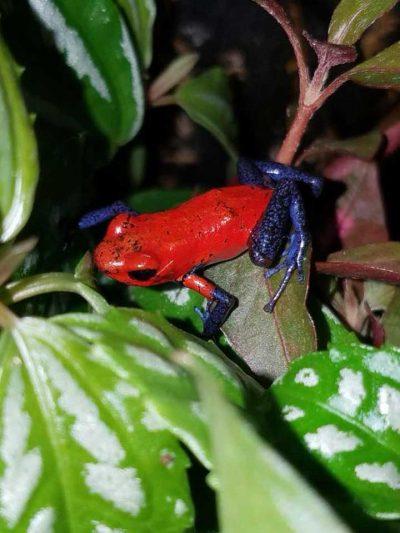 Bert's Pet Center - Dart Frog